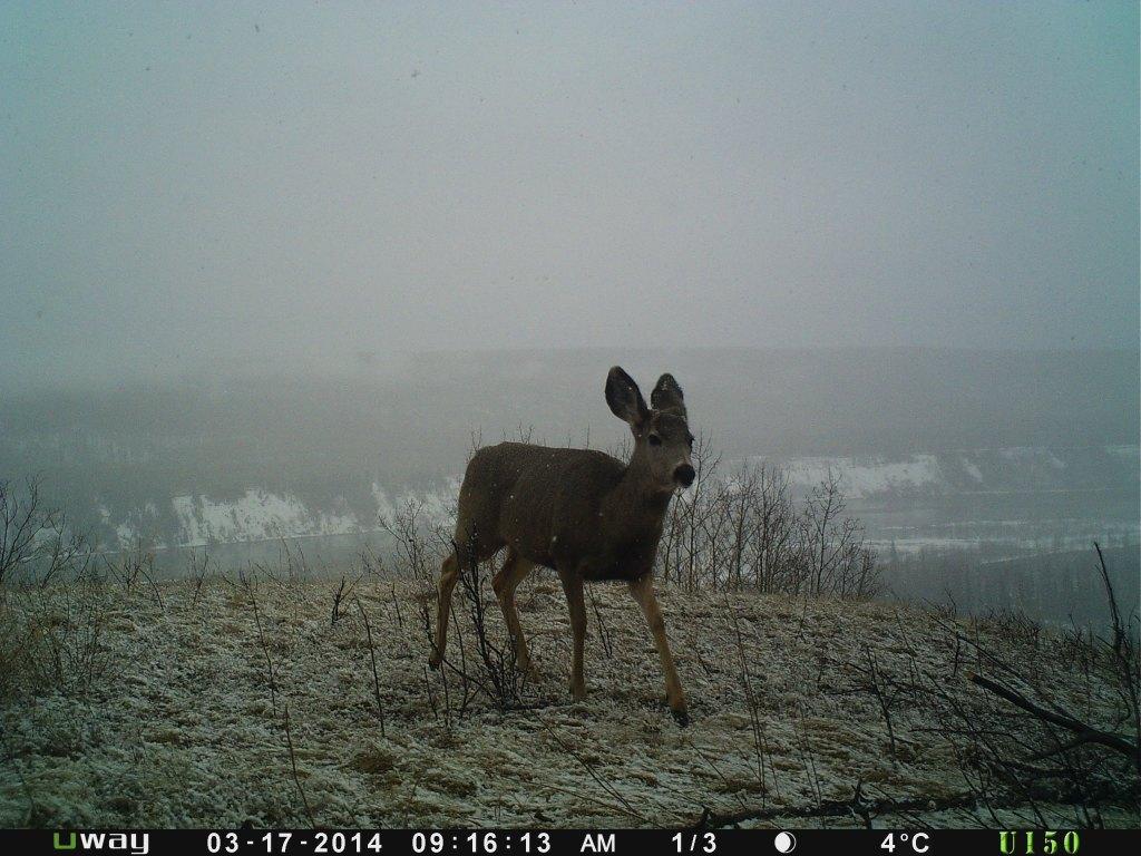 Little buck on a snowy day
