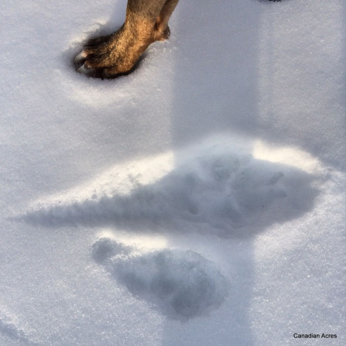 Maynard track vs wolf track... it's like he has creepy little bird feet