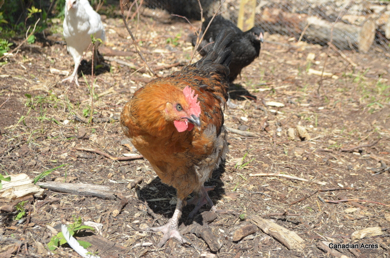 Dick the rooster taking his job very seriously