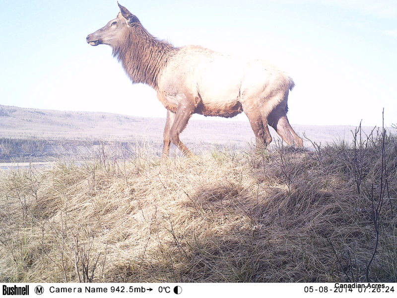 Elk, elk everywhere!